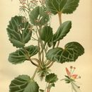 Image of <i>Saxifraga sarmentosa</i>