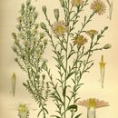 Image of <i>Symphyotrichum ericoides</i> (L.) G. L. Nesom