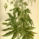 Image of paperplant