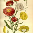 Image of <i>Xerochrysum bracteatum</i> (Vent.) N. N. Tzvel.