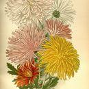 Image of florist's daisy