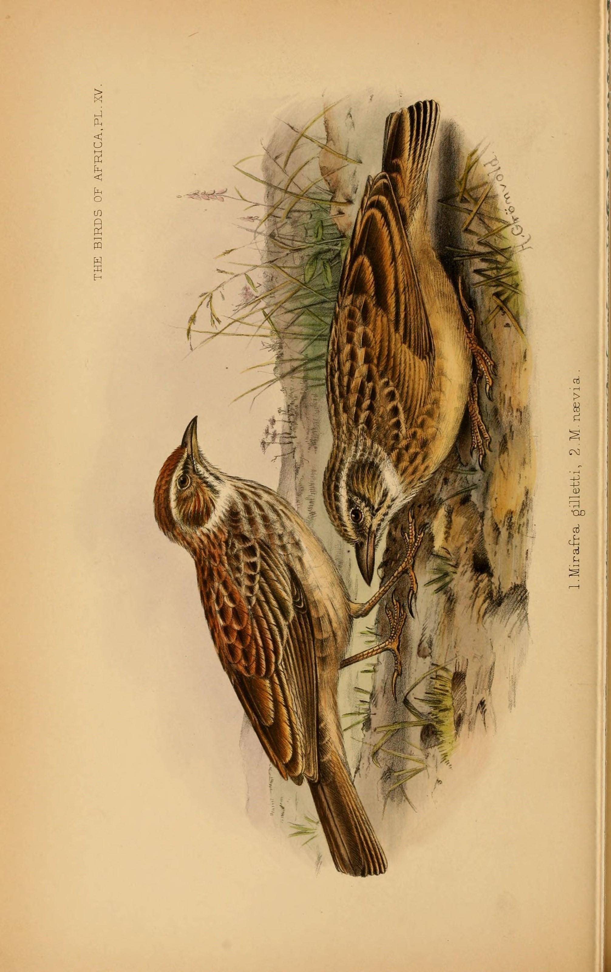 Image of Gillett's Lark
