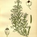 Image of <i>Erica melanthera</i> L.