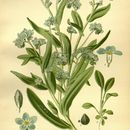 Image of Asian forget-me-not
