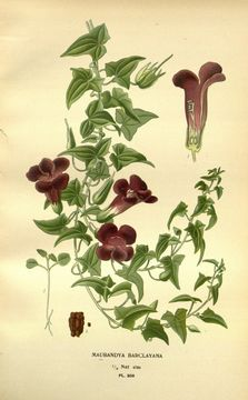 Image of <i>Maurandya barclaiana</i>