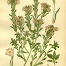Image of <i>Zaluzianskya villosa</i> F. W. Schmidt