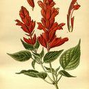 Image of scarlet sage