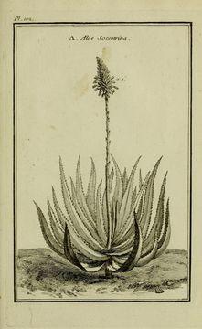 Image of Aloe
