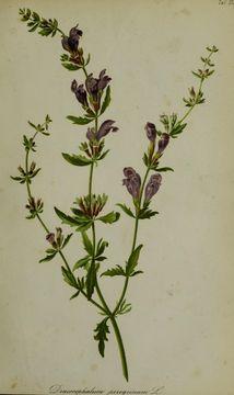 Image of <i>Dracocephalum peregrinum</i> L.