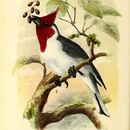 Image of <i>Paroaria cuculata</i>