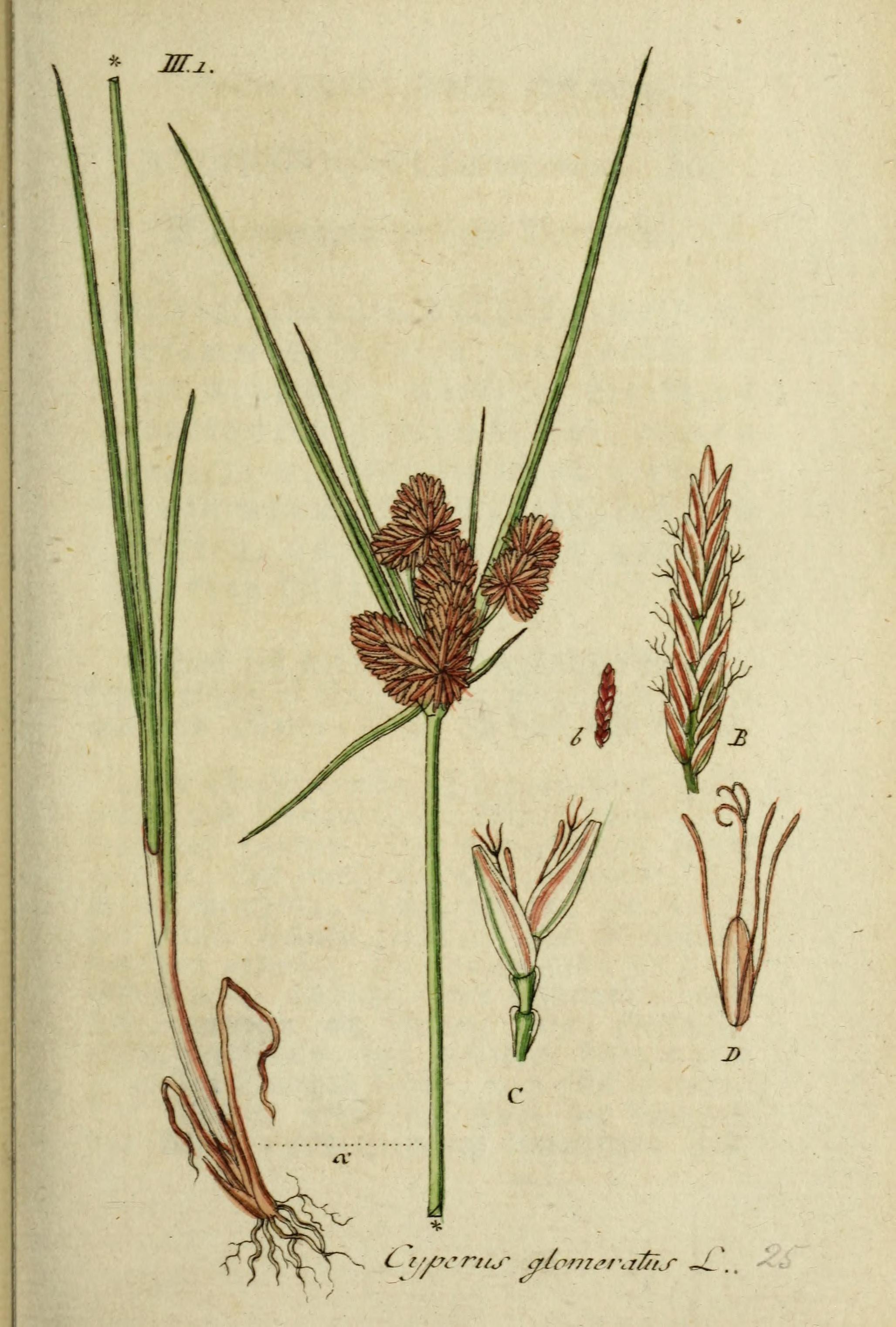 Image of <i>Cyperus glomeratus</i> L.