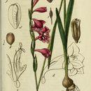 Image of cornflag