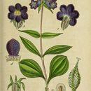 Image of <i>Gentiana pannonica</i> Scop.