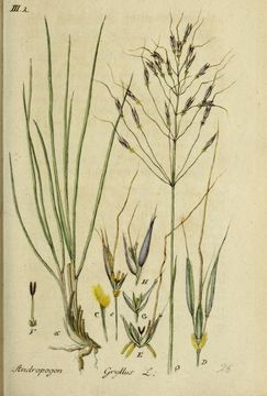 Image of Scented Grass