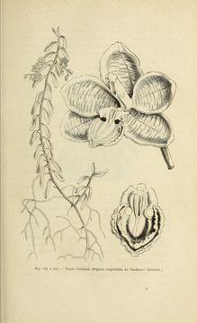 Image of <i>Esmeralda cathcartii</i> (Lindl.) Rchb. f.