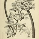 Image of <i>Cymbidium lowianum</i> (Rchb. fil.) Rchb. fil.