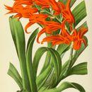 Image of <i>Ada aurantiaca</i>