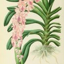 Image of <i>Aerides rosea</i> Lodd. ex Lindl. & Paxton