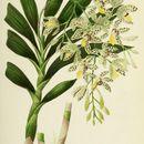 Image of <i>Ansellia africana</i> Lindl.