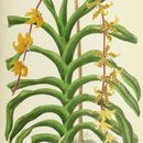 Image of <i>Dimorphorchis lowii</i> (Lindl.) Rolfe