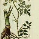 Image of turnip-root chervil