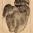 Image of <i>Manina cordiformis</i>