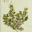 Image of <i>Teucrium montanum</i> L.
