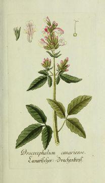 Image of cedronella