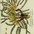 Image of <i>Astragalus exscapus</i> L.