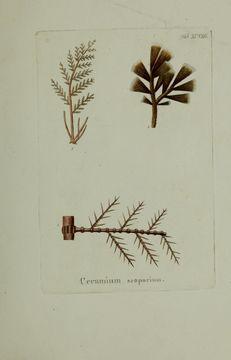 Image of <i>Halopteris scoparia</i>