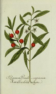 Image of <i>Solanum pseudo-capsicum</i>
