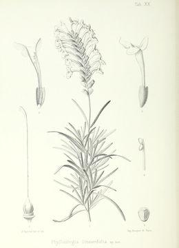 Image of woodland islandmint