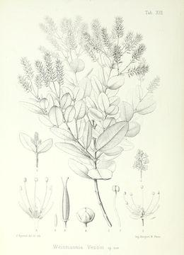 Image of <i>Weinmannia vescoi</i>