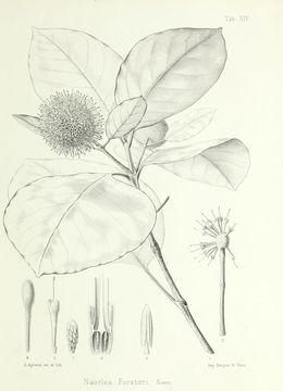 Image of <i>Neonauclea forsteri</i> (Seem. ex Havil.) Merr.