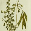 Image of Indian Thorny Bamboo