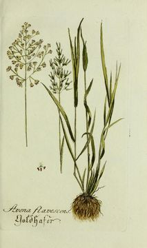 Image of golden oat grass