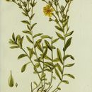 Image of golden flax