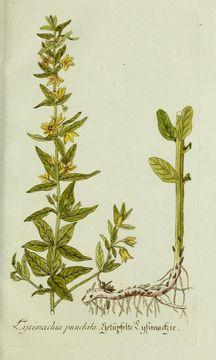 Image of <i>Lysimachia punctata</i> L.