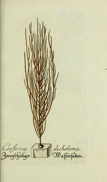 صورة <i>Vaucheria dichotoma</i>