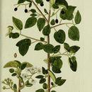 Image of Mahaleb cherry