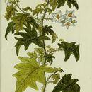 Image of Carolina horsenettle