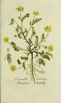 Image of <i>Coronilla minima</i> L.