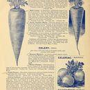 Image of Wild Celery