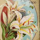 Image of Asiatic Lily