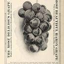 Image of grape