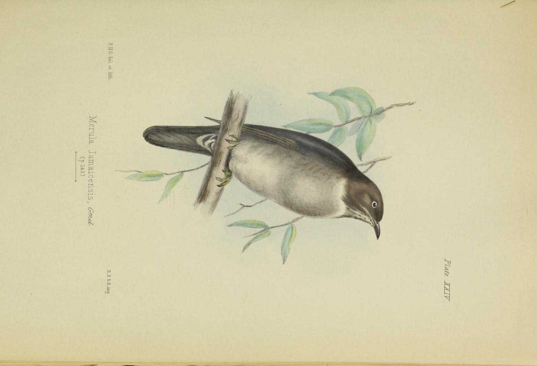 Image of White-eyed Thrush