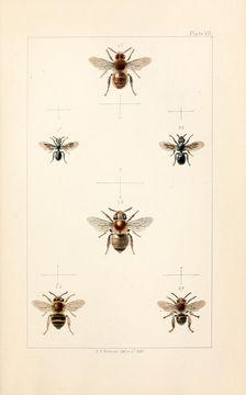 Image of <i>Anthophora furcata</i> (Panzer 1798)