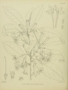 Image of Shrubby honeysuckle