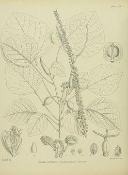 Image of <i>Homalanthus polyandrus</i> (Hook. fil. ex Müll. Arg.) Cheeseman