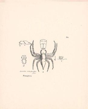 Image of <i>Lycopus rubropictus</i>